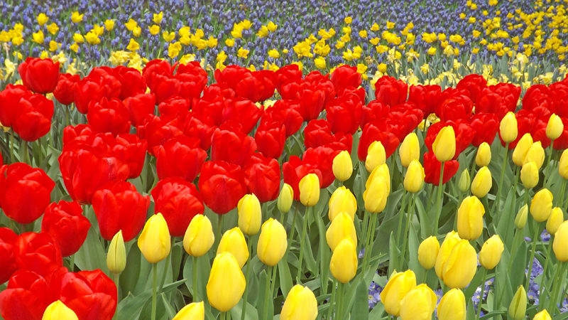 Keukenhof tulip garden Holland Netherlands