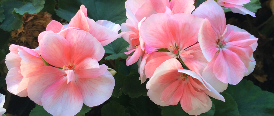 Geraniums in bloom in Holland