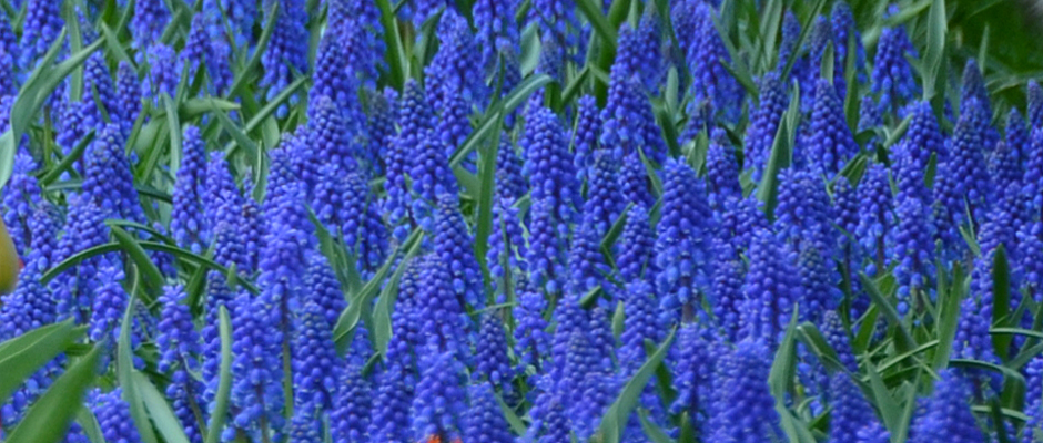 Muscari blooming in Holland