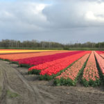 multi-colored tulip field blooming in Holland Netherlands